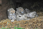 cheetah at  ZSL Whipsnade Zoo on Wednesday 24 October 2012