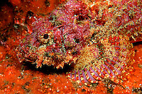 Spotted scorpionfish, Scorpaena plumieri,  lie on the bottom, blending in perfectly with the background, Mexico.
