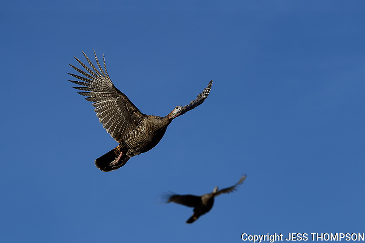 Wild Turkey Hen flying, San Angelo, Texas