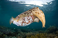 An adult female Broadclub cuttlefish, Sepia latimanus, hovers over a coral head where she is laying a large clutch of eggs. The cuttlefish's siphon, used for locomotion, is clearly visible. Waigeo Island, Raja Ampat, Papua, Indonesia, Pacific Ocean