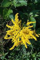 Goldenrod in autumn yellow flowers