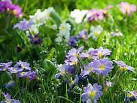 Germany, Baden-Wurttemberg, Breisgau-Hochschwarzwald: wild growing primroses on spring meadow | Deutschland, Baden-Wuerttemberg, Breisgau-Hochschwarzwald: wild wachsende Primeln auf Fruehlingswiese