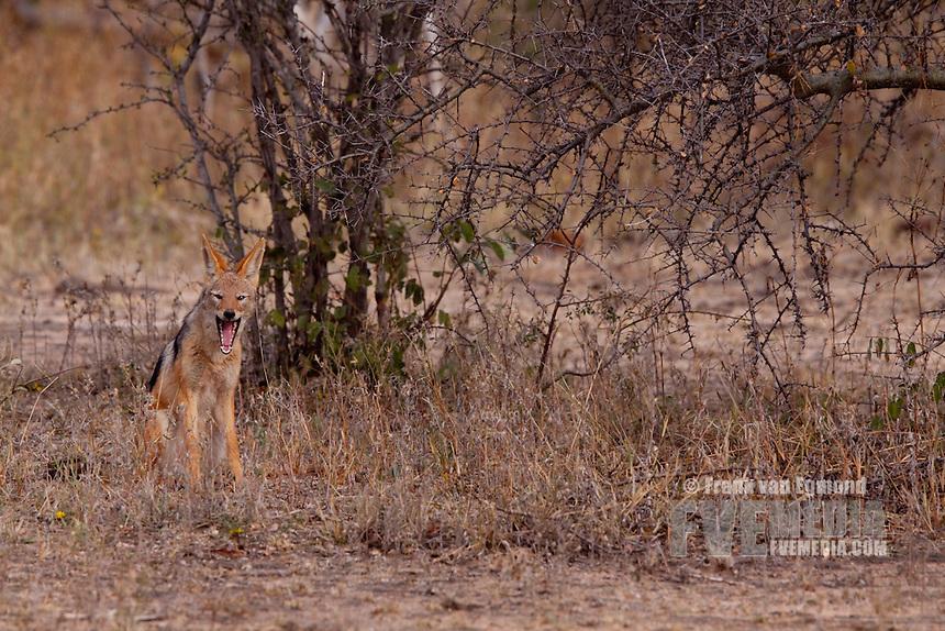 Black-backed Jackal (Canis mesomelas)..Yawning..June 2009, winter..Balule Private Nature Reserve, York section..Greater Kruger National Park, Limpopo, South Africa.