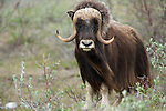 The original Alaska muskoxen were exterminated by the late 1800s, but through concerted conservation efforts begining in the 1930s, the species has been succesfully re-established.