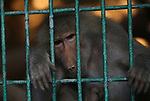 A picture taken on August 12, 2017 shows a monkey is seen at the Qalqilya Zoo, in the west bank city of Qalqilya. The Qalqilya national Zoo garden established in 1986 on 40 donums. Photo by Ayman Ameen