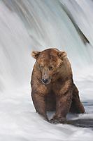 Brown bears fish for red salmon at the Brooks River falls, Katmai National Park, southwest, Alaska.