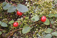 Partridgeberry (Mitchella repens), berries, Weymouth Woods-Sandhills Nature Preserve, Southern Pines, North Carolina, USA