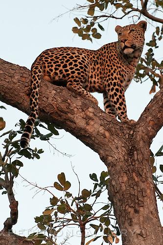 Leopard watching for distant prey, Botswana (could pass for Okavango Delta).