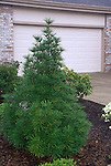 9002-CD Umbrella Pine, Sciadopithys verticillata growth habit in garden, at Tigard, Oregon