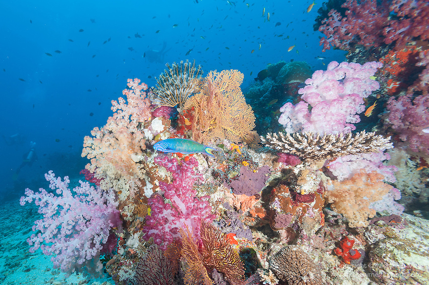Rainbow Reef, Somosomo Strait, Fiji; a Crescent Wrasse swimming over the colorful, soft coral reef