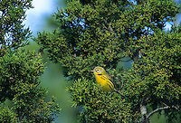 Magnolia Warbler, juvenile, Cape May, New Jersey