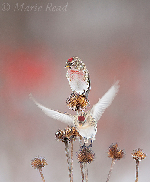 Common Redpoll (Carduelis flammea) male perched on coneflower seedhead in winter, female landing below, New York, USA