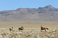 Wild Horses in Nevada desert country.  Fall.   Herd stallion on right.