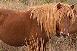 Wild Stallion and his mare at Assateague, Maryland, USA. wild, horse, springtime, Assateague National Wildlife Refuge, © Janet MacCausland, harem, stallion, stud, roan, Maryland, USA, shore, shoreline, managed, wildlife, mammal, Mammalia, brown, Atlantic,