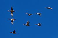 Mixed flock of Eurasian wigeon, Anas penelope and Shoveler, Anas clypeata, Nemunas River Delta, Lithuania