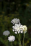 Wild Carrot, Queen Anne's Lace, parsley family, Daucus carota, alien