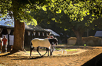 Saratoga Springs, NY  A hot walker cools a race horse down in the backstretch barns after a morning workout at Saratoga race Course .©Mitch Wojnarowicz Al Rights Reserved.