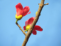 Two Palash flowers on a leafless branch against the afternoon blue sky.