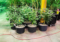 Marijuana plants at the Medicine Man grow house in Denver, Colorado, Tuesday, March 5, 2013. With Colorado's Amendment 64, the state has been working to decide how it will transition to legalized marijuana in the state...Photo by Matt Nager
