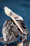 La Jolla Cove, La Jolla, California; a Brown Pelican (Pelecanus occidentalis) preening itself while standing on the cliffs overlooking the Pacific Ocean