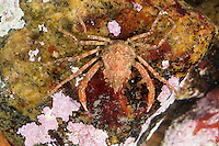 Geigenkastenseespinne, Geigenkasten-Seespinne, Seespinne, Rote Seespinne, Dreieckskrabbe, Dreiecks-Krabbe, Hyas coarctatus, Hyas serratus, Contracted crab, Arctic lyre crab, Toad crab, Spider crab
