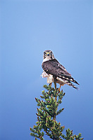559312028 wild male merlin falco columbarius perched in a tall fir tree near whitefish lake in the northwest territories of canada
