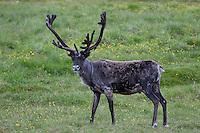 Rentier, Ren-Tier, Europäisches Ren, Männchen, Hirsch, domestiziert, Rangifer tarandus, reindeer, Tundrarentier, Tundra-Rentier, Karibu, caribou, Nord-Norwegen
