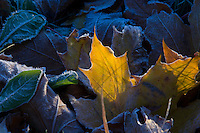 Maple leaves in fall color are brushed with frost on an autumn morning in Marquette Michigan.
