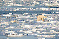 01874-12204 Polar Bear (Ursus maritimus) mother and cub jumping on ice in Hudson Bay  in Churchill Wildlife Management Area, Churchill, MB Canada