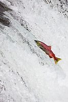 Red salmon jumps the falls of the Brooks River, Katmai National Park, Alaska.