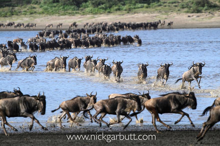 Herds of white-bearded wildebeest (Connochaetes taurinus albojubatus) crossing Lake Ndutu on migration, Ngorongoro Conservation Area / Serengeti National Park, Tanzania, East Africa