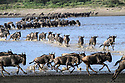 Herds of white-bearded wildebeest (Connochaetes taurinus albojubatus) crossing Lake Ndutu on migration, Ngorongoro Conservation Area / Serengeti National Park, Tanzania, East Africa