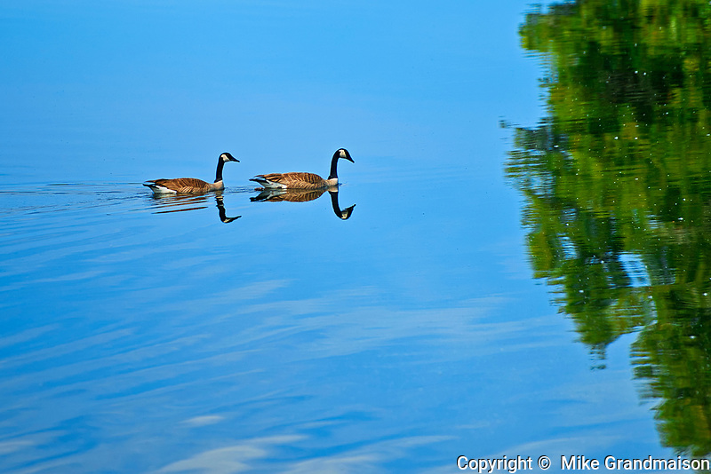 Canada geese (Branta canadensis) on ANdy Lake<br />Near Kenora<br />Ontario<br />Canada