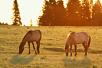 Wild horses graze in a mountain meadow shortly after sunrise.  Western U.S., summer..(Equus caballus)
