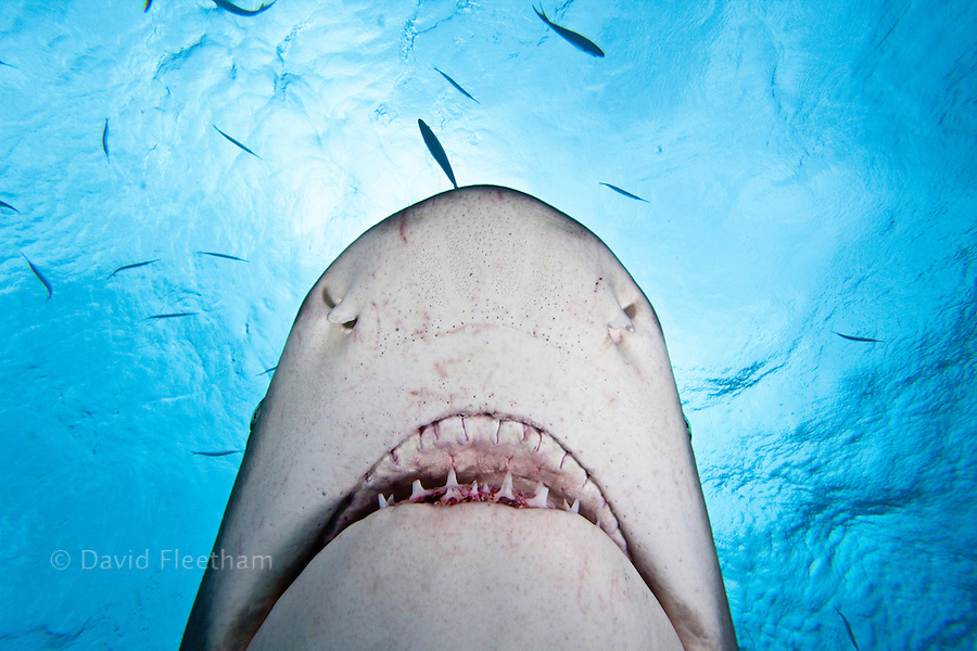 The view from directly under a lemon shark, Negaprion brevirostris, as it swims overhead, West End, Grand Bahamas, Atlantic Ocean.