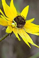 Goldenrod Spider on Black-eyed Susan, Washington