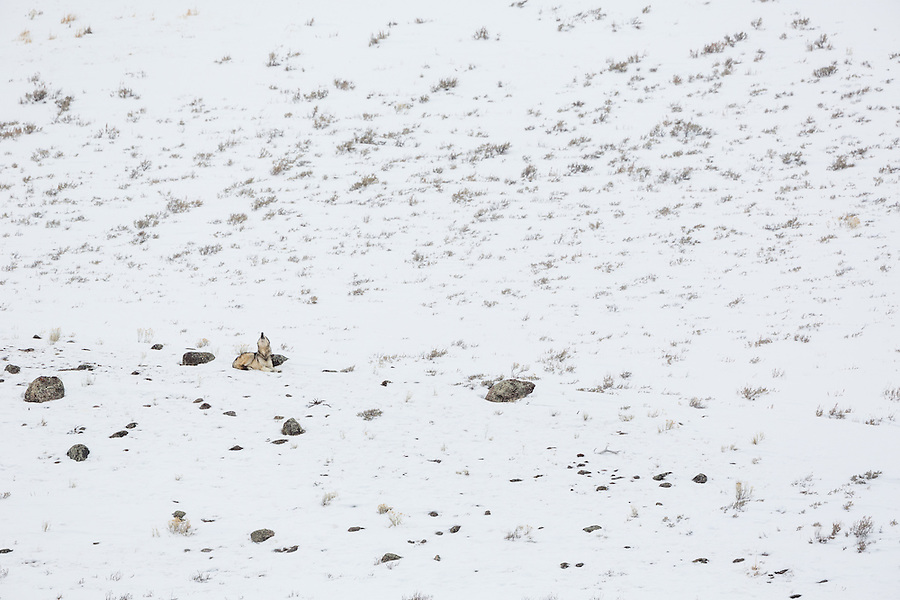 A single gray wolf howls while sitting atop a snow-covered rocky hillside in Yellowstone National Park, Wyoming.