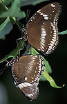 Great Eggfly Butterfly, Hypolimnas bolina, pair mating, Thailand, South Asia.Thailand....