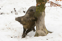 Germany, DEU, Arnsberg, 2005-Mar-07: A wild boar (sus scrofa) scratching at a tree in the snowy Wildwald Vosswinkel preserve.