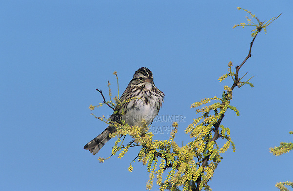 Savannah Sparrow, Passerculus sandwichensis,adult, Welder Wildlife Refuge, Sinton, Texas, USA, May 2005