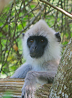 Grey langur monkey, Yala National Park Sri Lanka
