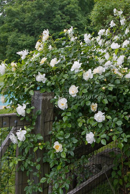 Climbing Iceberg roses, White climbing roses on wooden fence, Rosa