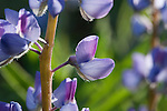 Close up view of a single Lupine wildflower blossom