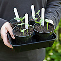 Melon seedlings grown in pots.