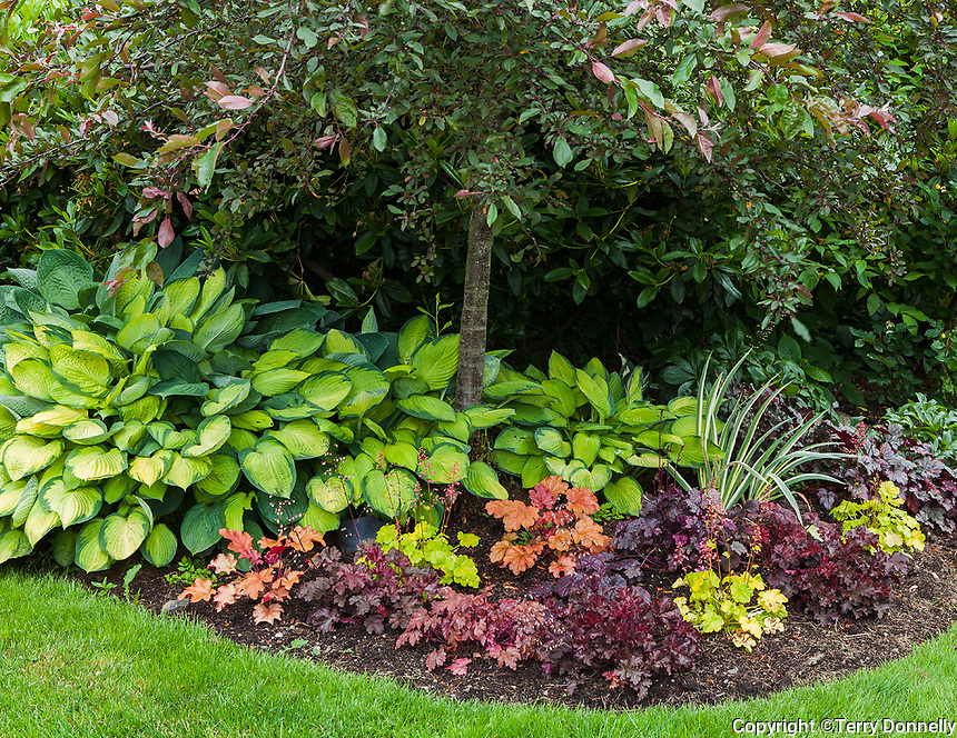 Vashon Island, WA: A colorful variety of heucheras with hostas under a crabapple tree in Froggsong garden in summer