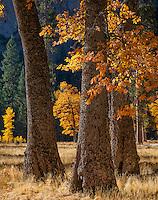Yosemite National Park, CA: Black oaks (Quercus kelloggii) in El Capitan Meadow in fall, Yosemite Valley