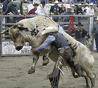 29 Aug 2004: Bull Rider Clayton Foltyn 10th ranked in the world tries to get free after riding the bull Broken Bones during the PRCA 2004 Extreme Bulls competition in Bremerton, WA.