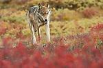 Single gray wolf travels across the tundra in Denali National Park, Alaska.