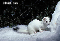 MA06-119x  Short-Tailed Weasel - ermine exploring forest for prey in winter, camouflaged - Mustela erminea