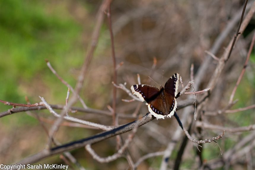 A Mourning Cloak Butterfly enjoys the sun while perched on a slender branch in Low Gap Park in Ukiah in Mendocino County in Northern California.